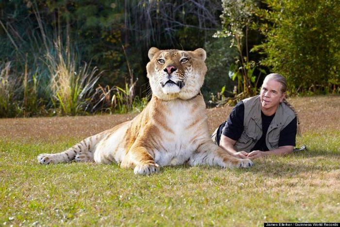 Conheça Ligre o maior felino do mundo um híbrido entre leão e tigre 2