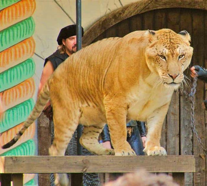 Conheça Ligre o maior felino do mundo um híbrido entre leão e tigre 3
