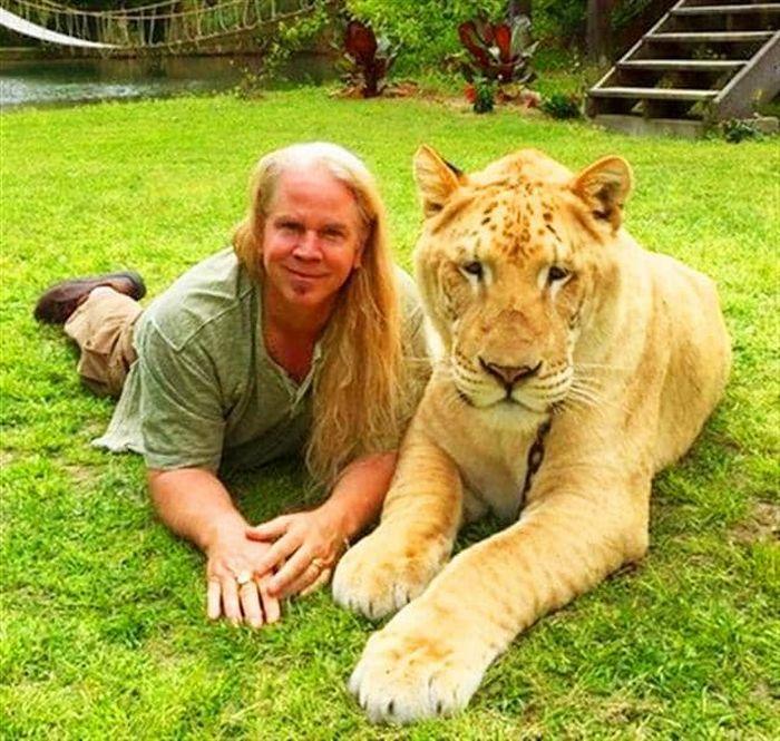 Conheça Ligre o maior felino do mundo um híbrido entre leão e tigre 4