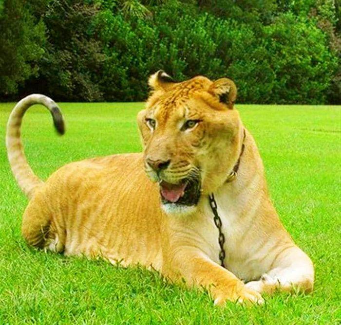Conheça Ligre o maior felino do mundo um híbrido entre leão e tigre 5