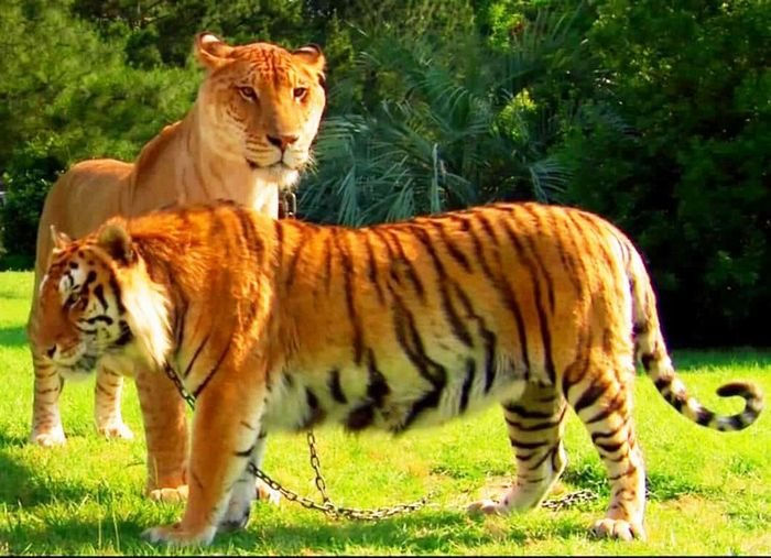 Conheça Ligre o maior felino do mundo um híbrido entre leão e tigre 6