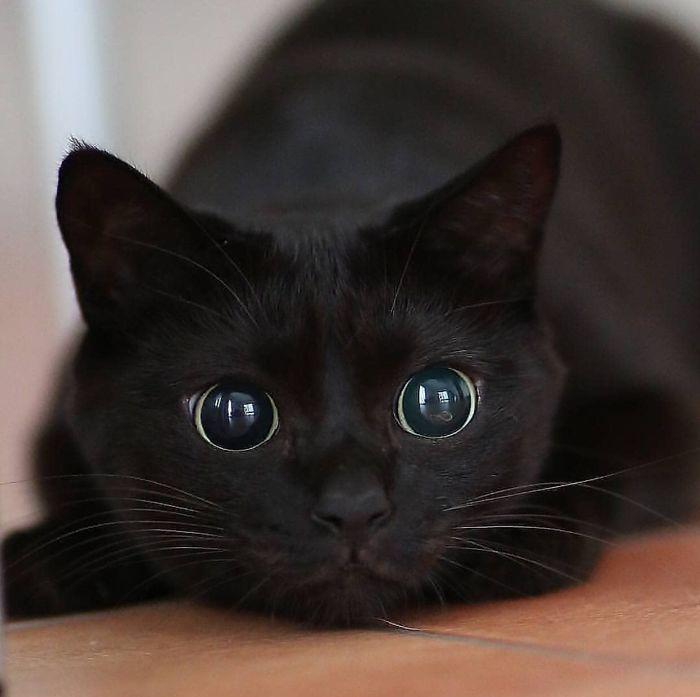 8 fatos que comprova que panteras são apenas gatos gigantes 8
