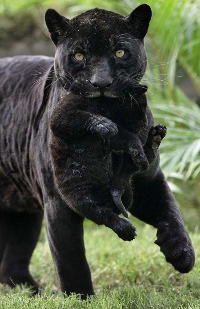 8 fatos que comprova que panteras são apenas gatos gigantes 17