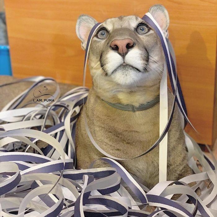 Puma resgatada de um zoológico vive como um gato doméstico mimado (18 fotos) 7