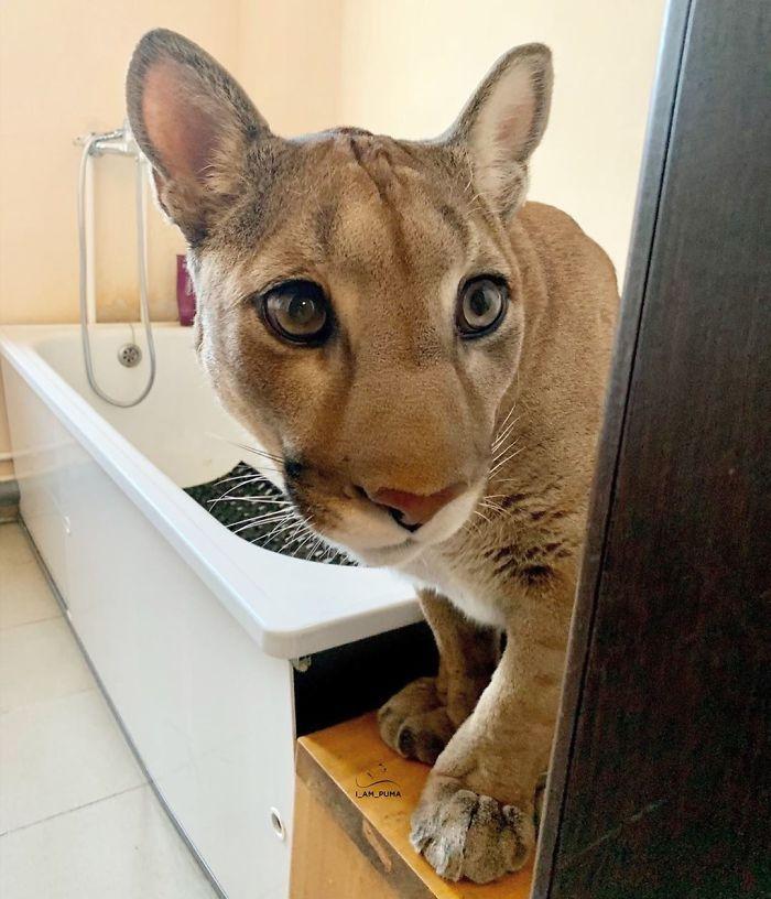 Puma resgatada de um zoológico vive como um gato doméstico mimado (18 fotos) 8