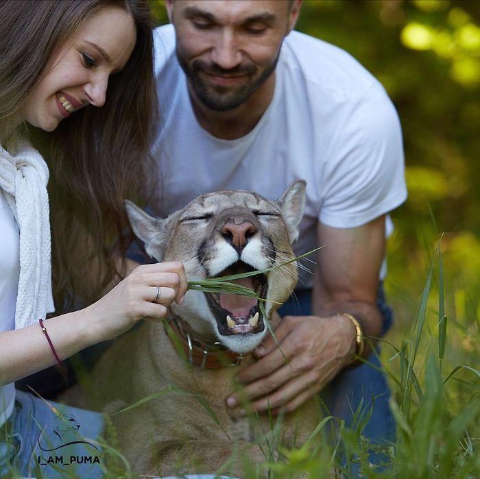 Puma resgatada de um zoológico vive como um gato doméstico mimado (18 fotos) 10