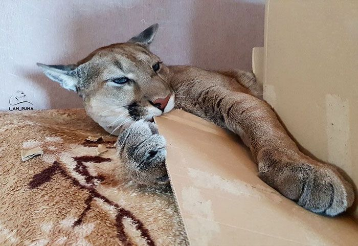 Puma resgatada de um zoológico vive como um gato doméstico mimado (18 fotos) 14