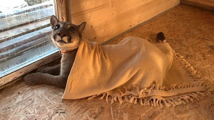 Puma resgatada de um zoológico vive como um gato doméstico mimado (18 fotos) 16