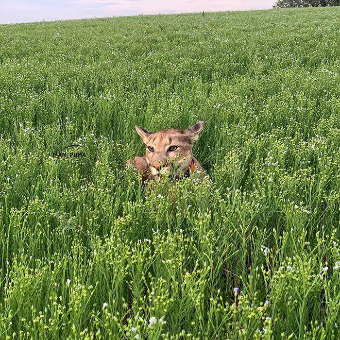 Puma resgatada de um zoológico vive como um gato doméstico mimado (18 fotos) 19