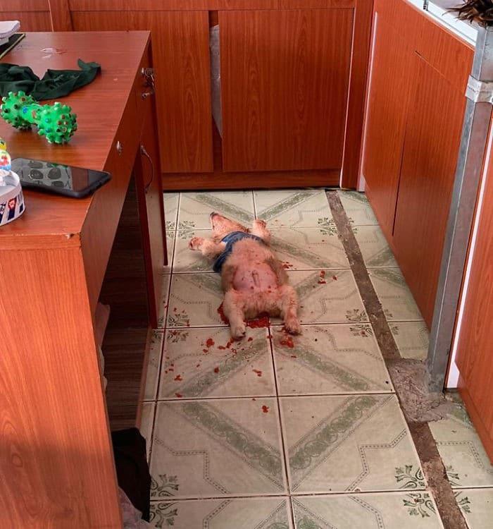 Corgi dá a seu dono um mini ataque cardíaco depois que ele come melancia 3