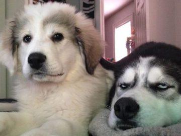 35 cães que tiveram suas vidas arruinadas depois que ganharam um Irmão mais novo 4