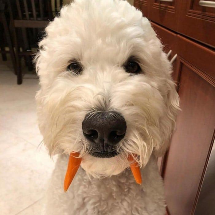 Nova raça de cachorro: O Cão vampiro (21 fotos) 7