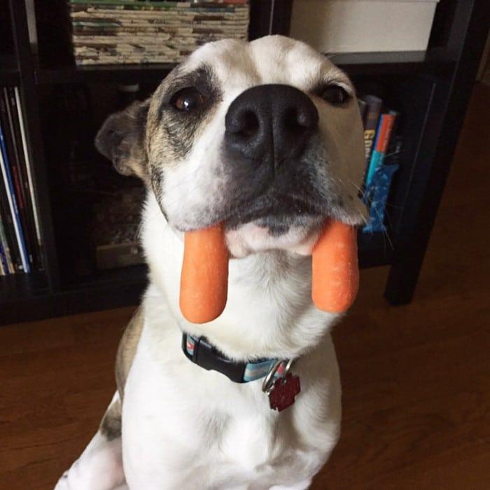 Nova raça de cachorro: O Cão vampiro (21 fotos) 13