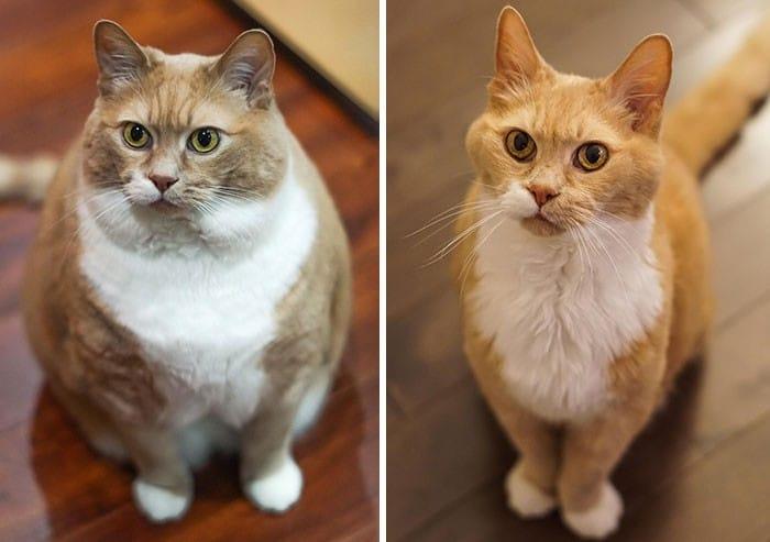 37 impressionantes transformações de perda de peso de gato 3