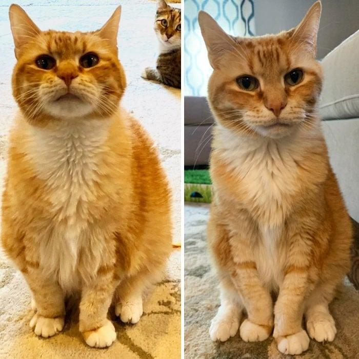 37 impressionantes transformações de perda de peso de gato 32