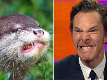 Rumores confirmados: Benedict Cumberbatch é realmente uma lontra 35