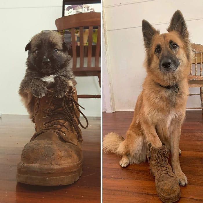 40 adoráveis cães antes e depois de crescer 19