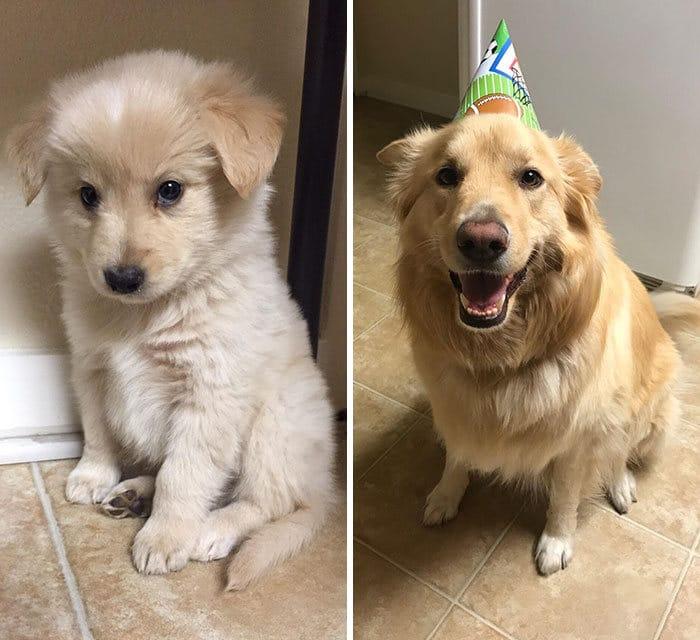 40 adoráveis cães antes e depois de crescer 25