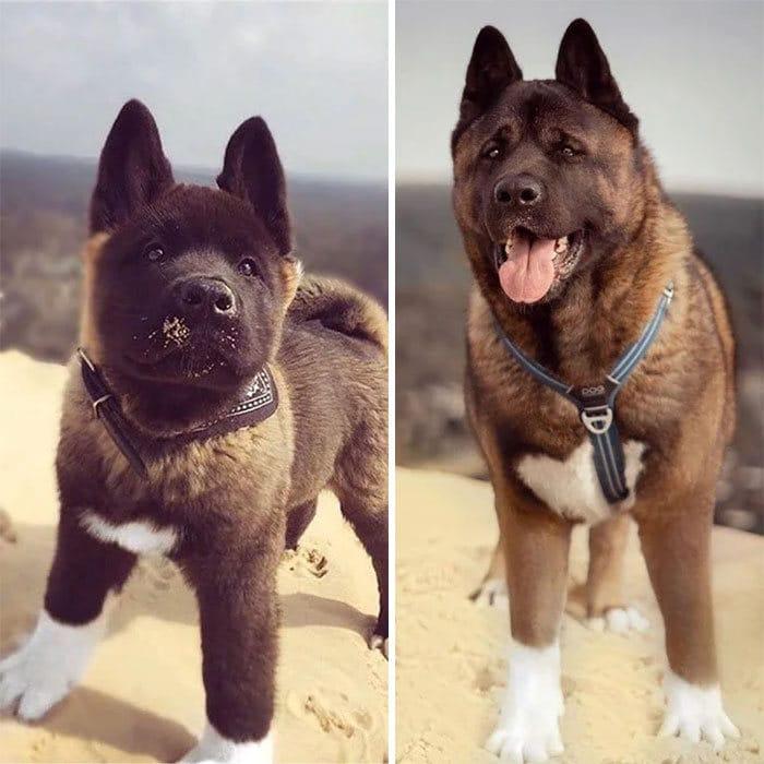 40 adoráveis cães antes e depois de crescer 33