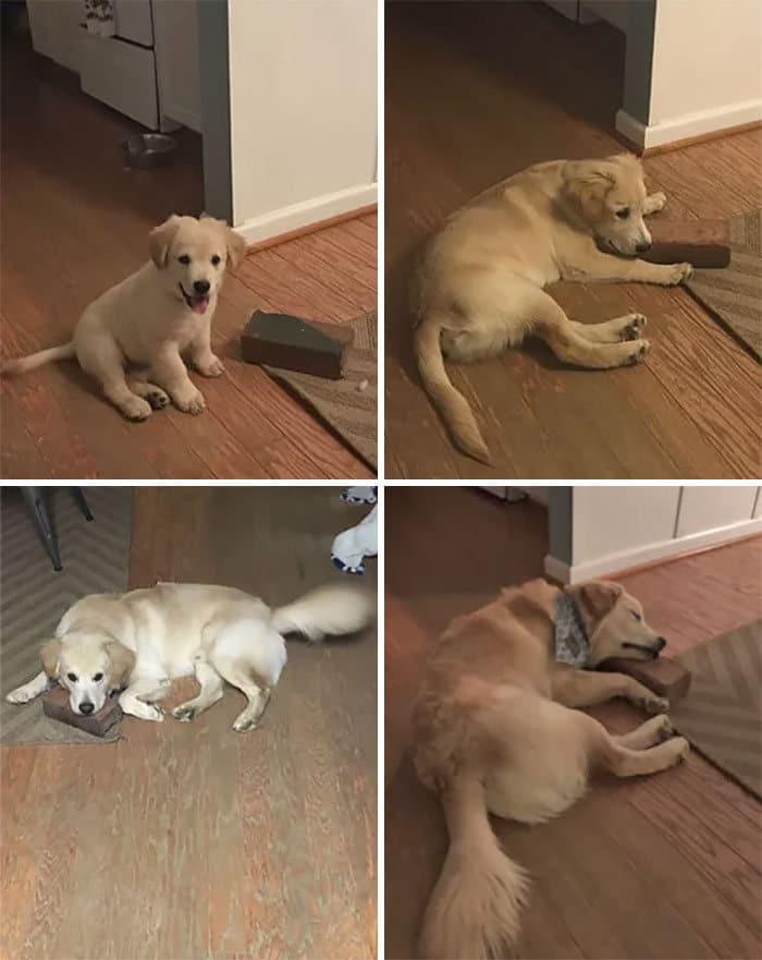 40 adoráveis cães antes e depois de crescer 36