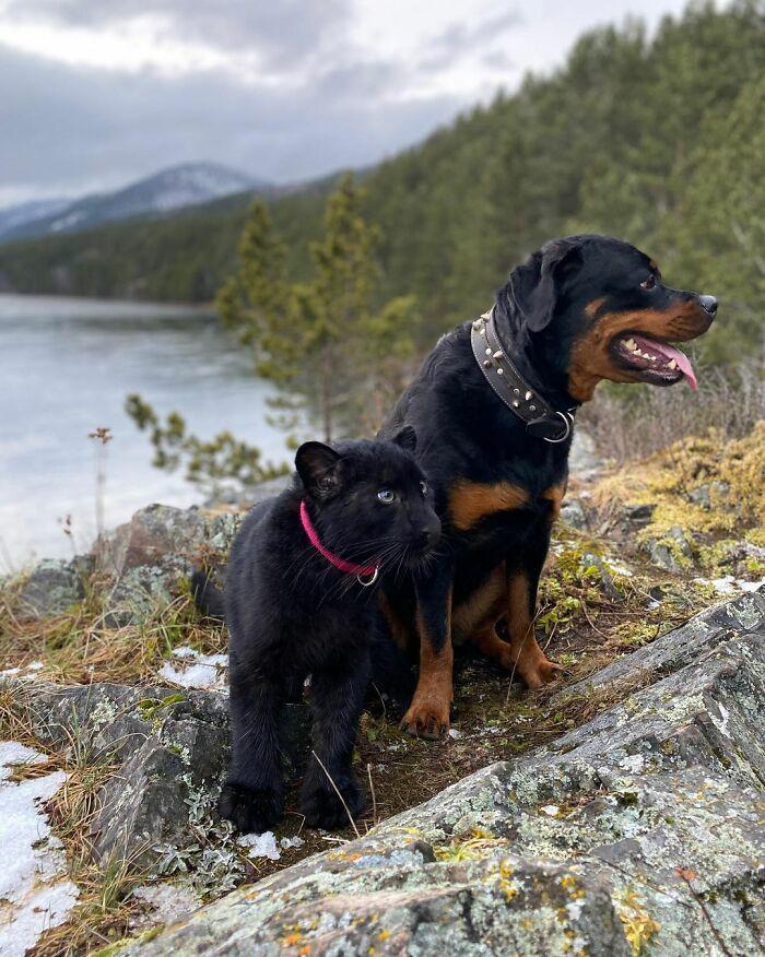Pantera rejeitada pela mãe conquista internet ao lado do irmão Rottweiler 17