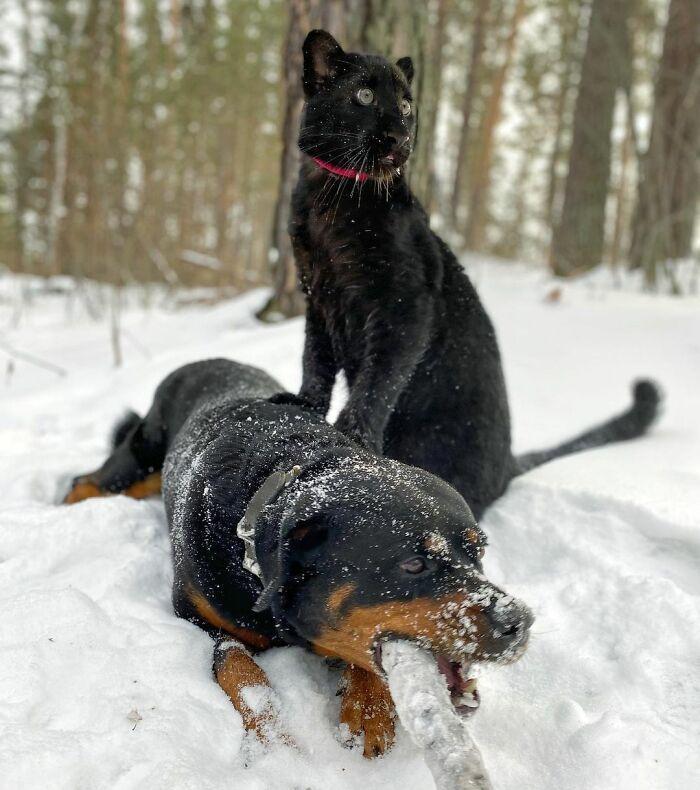 Pantera rejeitada pela mãe conquista internet ao lado do irmão Rottweiler 19
