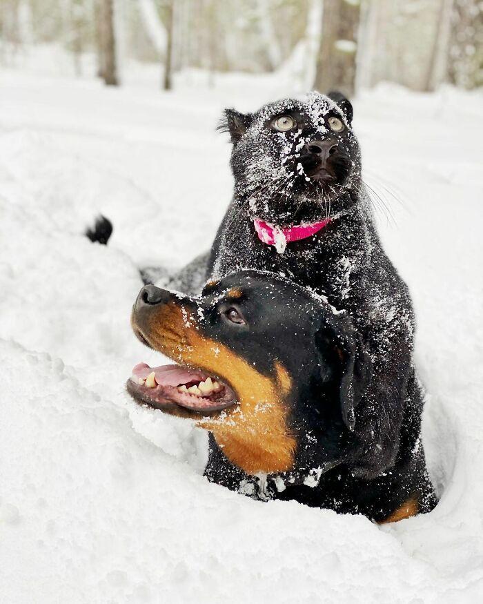 Pantera rejeitada pela mãe conquista internet ao lado do irmão Rottweiler 20