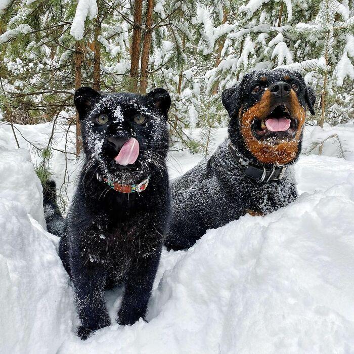 Pantera rejeitada pela mãe conquista internet ao lado do irmão Rottweiler 25