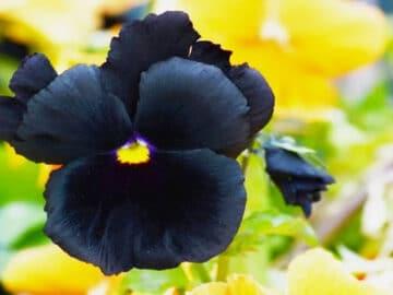 6 flores negras que são lindas e misteriosas 32