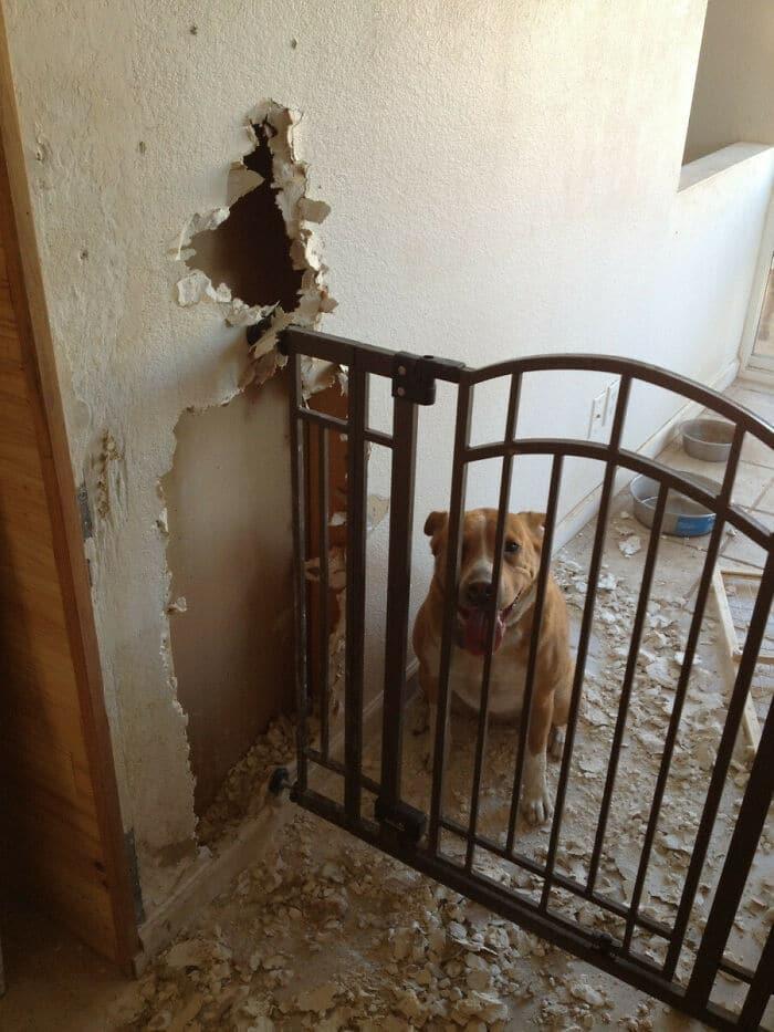 38 vezes que animais de estimação foram pegos destruindo algo 17