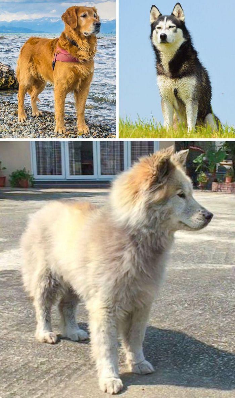 17 cachorros híbridos que dão um show de beleza e fofura 7