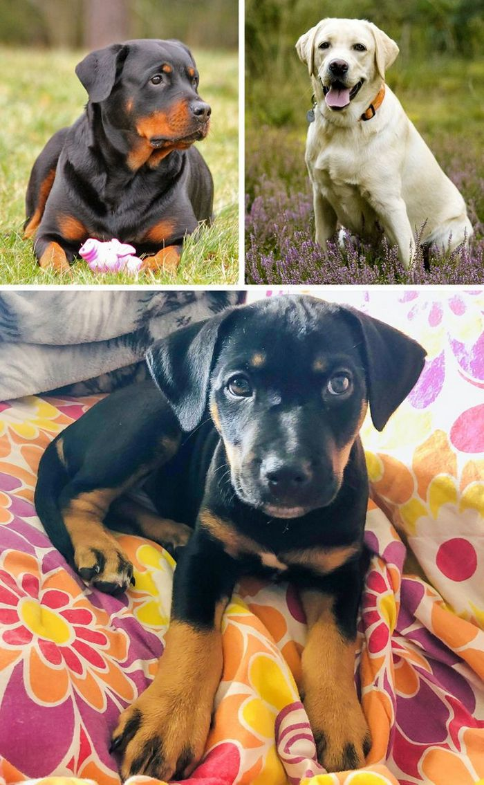 17 cachorros híbridos que dão um show de beleza e fofura 9