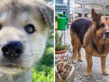 17 cachorros híbridos que dão um show de beleza e fofura 4