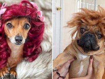 38 pessoas estão compartilhando fotos de seus cães usando perucas 23