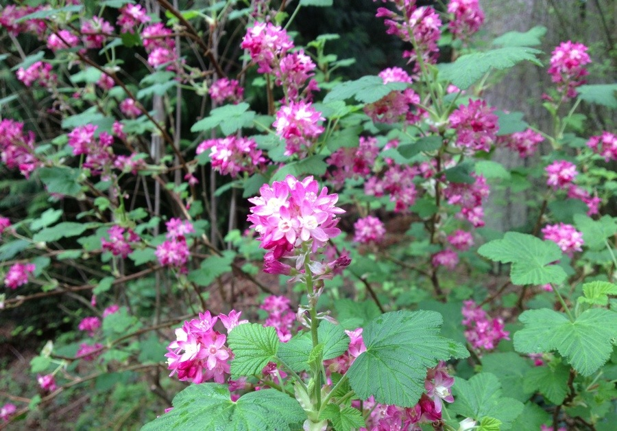 Pink flowering currant ted kennedy watson pink flowering currant mightylinksfo