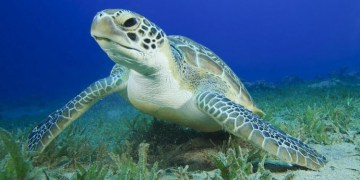 A Sea Turtle in its natural habitat. Support Sea Turtle Awareness Day! Source: National Geographic.