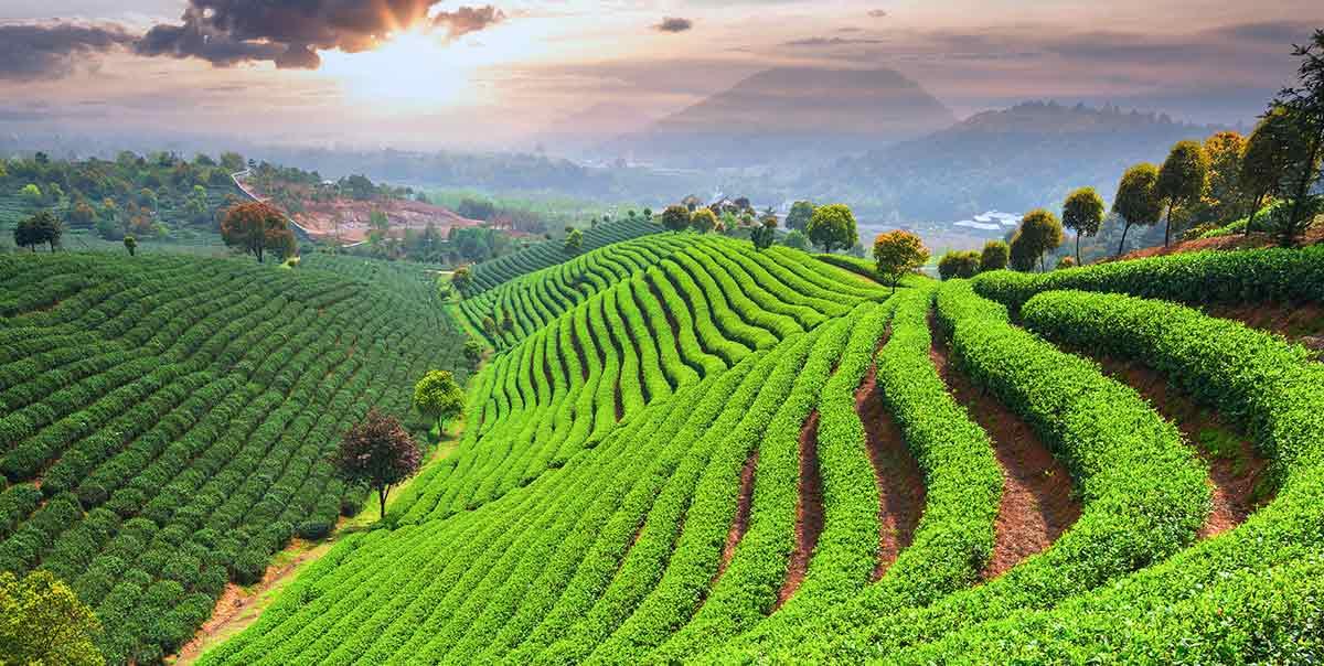 Chinesischer Tee Alles Was Sie Daruber Wissen Mussen