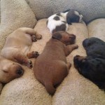 Dachshund Puppies Sleeping Teh Cute
