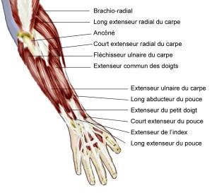 bras d'arc - Muscles avant bras