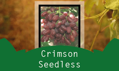 Crimson Seedless