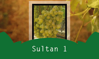 Sultan 1