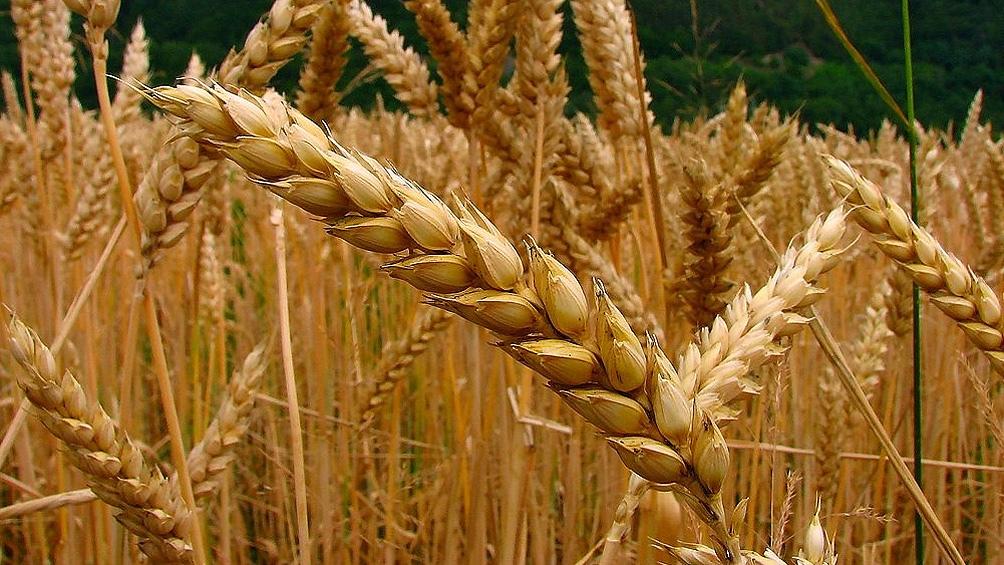 """Se presume que por el alza de precios internacionales, la cebada será uno de los granos""""ganadores"""" de la cosecha 2012/22."""