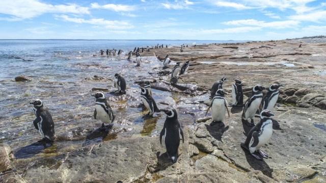 Las colonias de pingüinos de Magallanes caracterizan al Área Natural Protegida Cabo Dos Bahías.