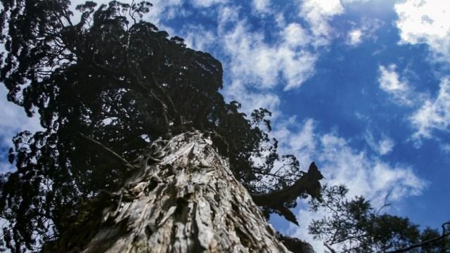 El alerce es el árbol más alto de Sudamérica.
