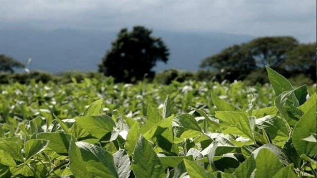 La soja cede terreno ya que se equipararon los márgenes de rentabilidad.