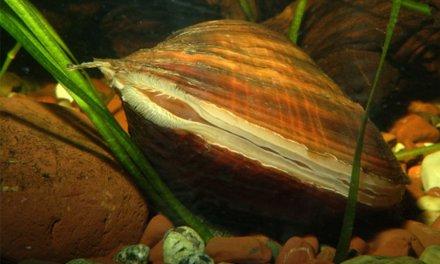 Molluschi d'acqua dolce in Europa a rischio di estinzione, lo dice uno studio del Cnr pubblicato su Biological Reviews