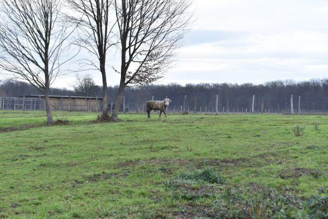 Pronađen je Joza, bik koji je pobjegao na ulazu u klaonicu. Čeka ga lijepi život na farmi, kod udomitelja 2