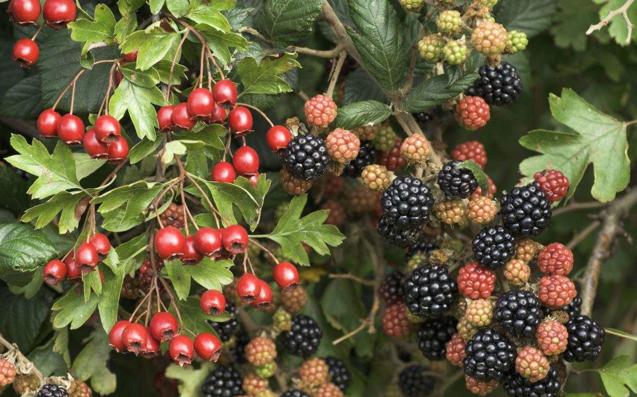 How To Get Rid Of Ornamental Brambles The Telegraph