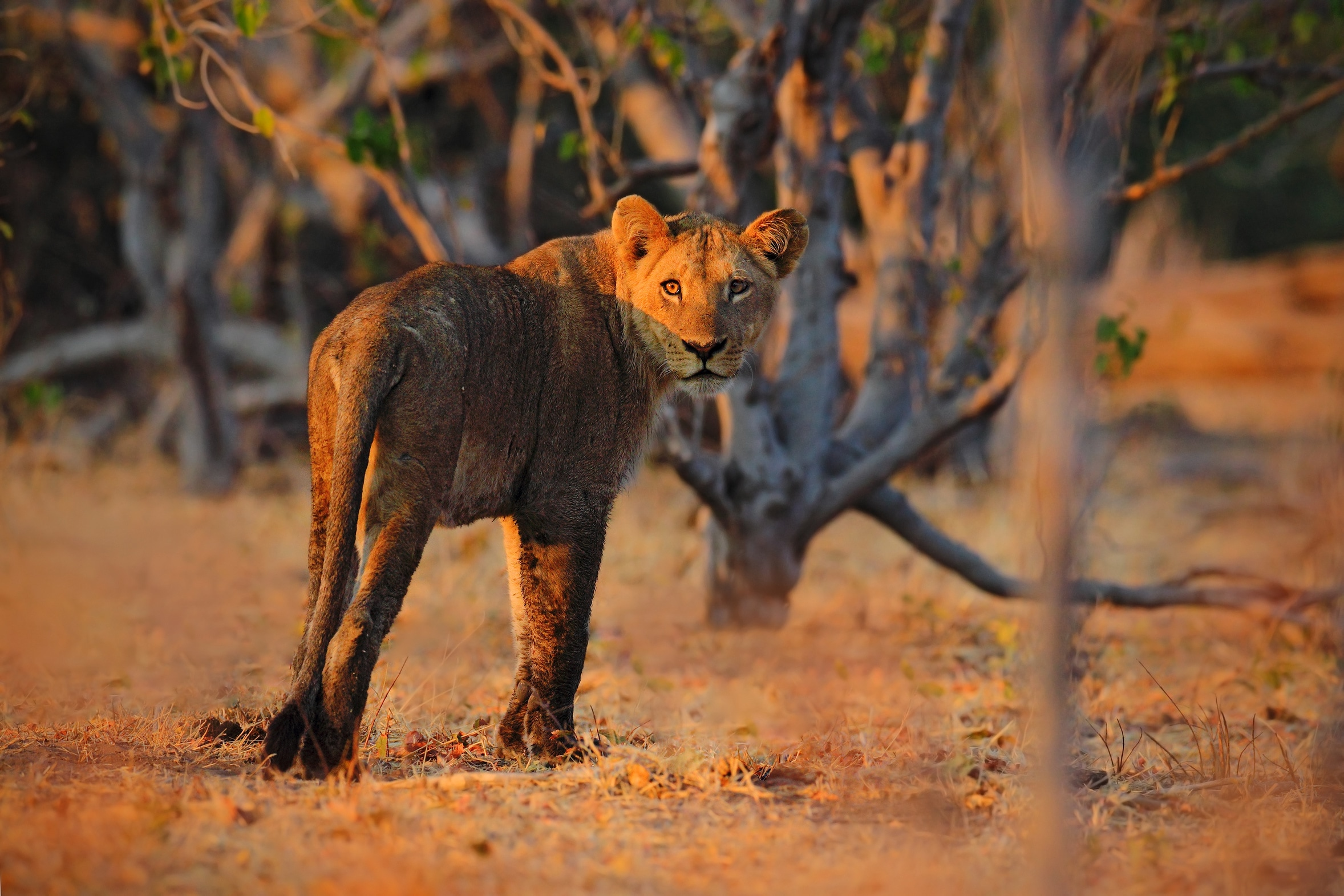 A lioness in the Kruger National Park