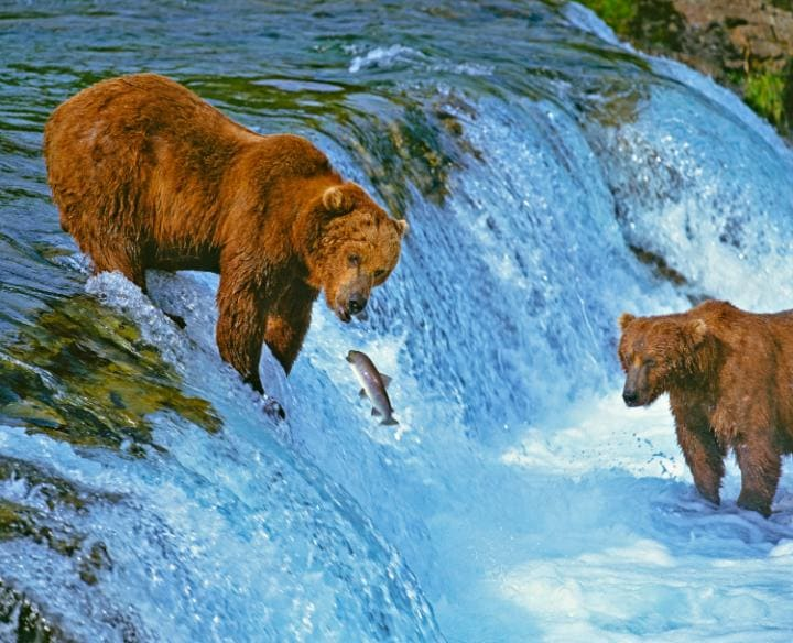 Les ours de Kodiak sont célèbres pour leur penchant pour le saumon